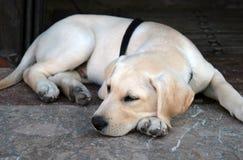 Cucciolo, giovane cane. Immagini Stock