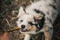Cucciolo grazioso border collie Fotografia Stock