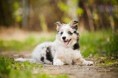 Cucciolo grazioso border collie Fotografie Stock Libere da Diritti