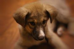 Cucciolo grazioso, cane della dolcezza, lanuginoso Fotografie Stock Libere da Diritti