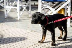 Cucciolo grazioso con un collare rosso che sta all'aperto immagini stock