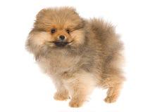 Cucciolo grazioso di Pomeranian su priorità bassa bianca Immagine Stock
