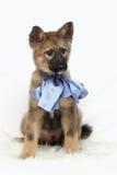 Cucciolo grigio con l'arco blu fotografia stock libera da diritti