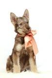 Cucciolo grigio con l'arco della pesca fotografia stock