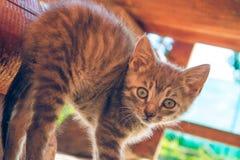 Cucciolo grigio del gatto Fotografie Stock