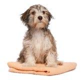 Cucciolo havanese del cioccolato bagnato dopo il bagno Fotografia Stock