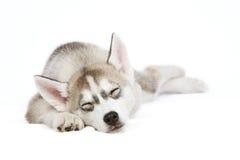 Cucciolo husky di sonno Immagine Stock Libera da Diritti