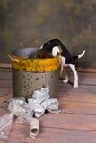 Cucciolo impertinente del cane da lepre Fotografie Stock Libere da Diritti