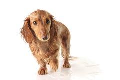 Cucciolo impregnato Fotografia Stock