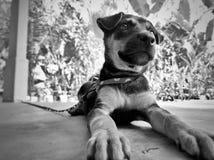 Cucciolo incatenato Fotografia Stock