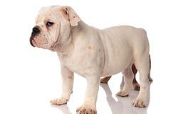 Cucciolo inglese bianco del bulldog che sta con il fratello dietro  immagine stock libera da diritti
