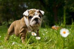 Cucciolo inglese del bulldog Immagini Stock