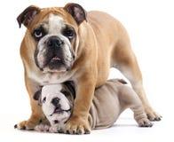 Cucciolo inglese del bulldog fotografia stock libera da diritti