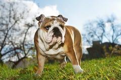 Cucciolo inglese del bulldog Immagini Stock Libere da Diritti