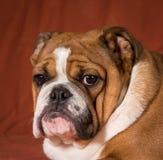 Cucciolo inglese del bulldog Fotografie Stock