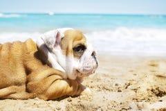 Cucciolo inglese del bulldog al mare Immagine Stock Libera da Diritti
