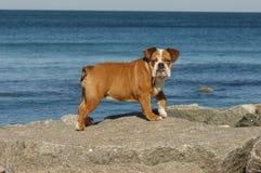 Cucciolo inglese del bulldog che gioca sulla spiaggia Fotografia Stock Libera da Diritti