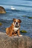 Cucciolo inglese del bulldog che gioca sulla spiaggia Immagine Stock Libera da Diritti