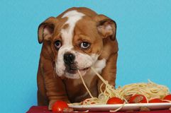 Cucciolo inglese del bulldog che mangia spaghetti Fotografia Stock Libera da Diritti