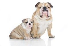 Cucciolo inglese del bulldog con il bulldog adulto isolato Fotografie Stock