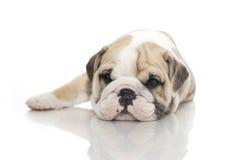Cucciolo inglese del bulldog isolato Fotografie Stock