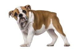 Cucciolo inglese del bulldog (3 mesi) Immagine Stock Libera da Diritti