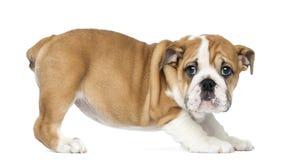 Cucciolo inglese diritto del bulldog, 2 mesi Fotografia Stock Libera da Diritti