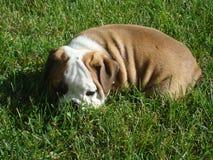 Cucciolo inglese maschio del bulldog immagine stock