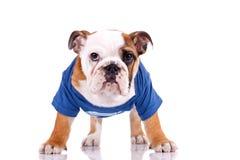 Cucciolo inglese molto attento del bulldog Immagine Stock