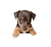 Cucciolo isolato del Russel della presa Fotografia Stock Libera da Diritti