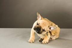 Cucciolo Itchy immagini stock libere da diritti