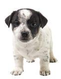 Cucciolo Jack Russell Fotografia Stock Libera da Diritti