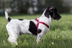 Cucciolo Jack Russell Terrier Fotografie Stock Libere da Diritti