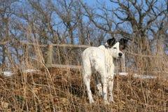 Cucciolo Jack Russell Terrier Walking Nature Fence del cane Fotografie Stock Libere da Diritti