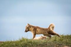 Cucciolo le Svalbard della volpe artica Fotografia Stock