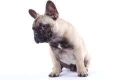Cucciolo Louis del bulldog francese III Fotografie Stock Libere da Diritti