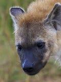 Cucciolo macchiato dell'iena Fotografia Stock