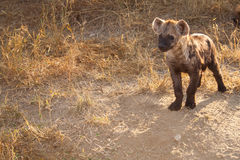 Cucciolo macchiato dell'iena che guarda qualcosa Immagine Stock