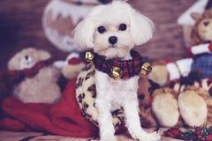 Cucciolo maltese in una calza di natale fotografia stock libera da diritti