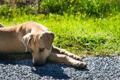 Cucciolo marrone abbandonato che riposa sul lato della strada immagine stock libera da diritti