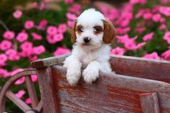 Cucciolo marrone e bianco lanuginoso che si siede in carriola di legno rustica Fotografie Stock Libere da Diritti