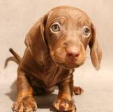Cucciolo marrone sveglio del dachshund Fotografia Stock Libera da Diritti