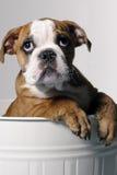 Cucciolo maschio del bulldog Fotografia Stock Libera da Diritti