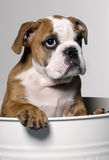 Cucciolo maschio del bulldog Immagini Stock Libere da Diritti