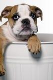 Cucciolo maschio del bulldog Immagini Stock