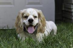 Cucciolo maschio di cocker spaniel Fotografia Stock Libera da Diritti