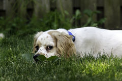 Cucciolo maschio di cocker spaniel Fotografie Stock Libere da Diritti