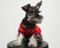 Cucciolo miniatura di Snouser Fotografie Stock