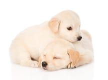 Cucciolo minuscolo di golden retriever due Su fondo bianco Immagine Stock