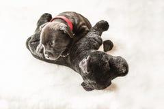 Cucciolo minuscolo di sonno Staffordshire bull terrier che si trova su un coccolo Immagini Stock Libere da Diritti